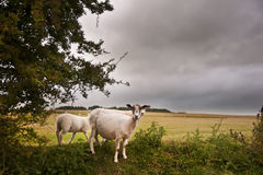 Farm sheep in landscape on stormy Summer day Royalty Free Stock Image