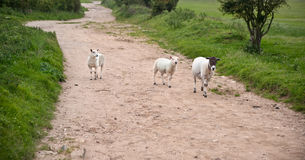 Farm sheep in landscape on stormy Summer day Stock Photography