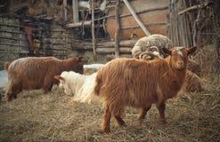 Farm. Sheep in sheepfold Royalty Free Stock Photos