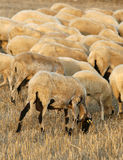 Farm sheeps. A beautiful sheep group  late in the aftrenoon Royalty Free Stock Images