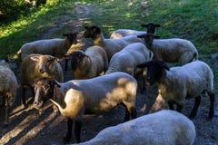 Farm sheeps on the sun, evening, summer Stock Image