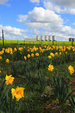 Farm Silos and daffodils Royalty Free Stock Photo