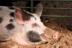 On the farm -sleeping pig. Sleeping pig, close up, in soft narural light Stock Photography
