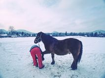 Farm staff prepare horse for hooves clearing by backsmith. Regular horse farm care stock photos