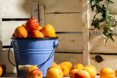 Peach in bucket wood background. Farm still life food. Summer eat diet. Peach in blue bucket Royalty Free Stock Image