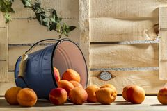Peach in bucket wood background. Farm still life food. Summer eat diet. Peach in blue bucket Royalty Free Stock Photos