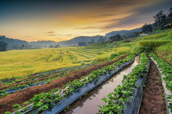 Farm Strawberry. Rice terraces in Thailand Royalty Free Stock Photos
