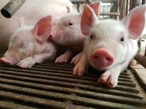 Three piglets, so cute. Farm swine Livestock Stock Photo