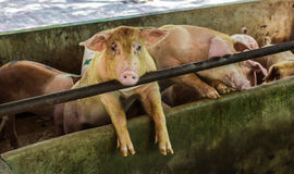 Farm swine Stock Photo