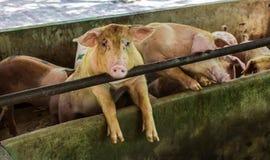 Farm swine Stock Photo