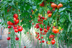 Farm of tasty red tomatoes. On the bushes Stock Photography