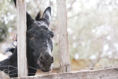 Black donkey behind a fence stock image