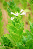 Farm tobacco plants Royalty Free Stock Image