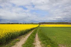 Farm track and flowering rapeseed fields. Yellow flowering rapeseed crops at Stillingfleet in Yorkshire with trees on the horizon under a blue sky with fluffy Royalty Free Stock Photos