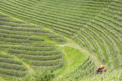 Farm tractor in vineyard Royalty Free Stock Photo