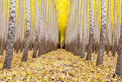 Farm of trees all in a row fall Royalty Free Stock Photography