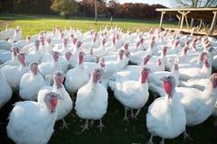 Farm Turkeys Royalty Free Stock Photo