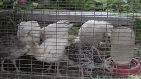 Farm turkeys. Young turkeys in a closed cage stock footage