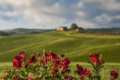Farm in Tuscany,Italy. Flowers and green field in Tuscany,Italy Stock Image