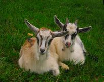 Two little goats are sitting on the green grass stock image