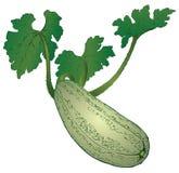 Farm vegetable - zucchini Stock Image