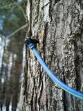 Close up of a maple tree being tapped for sap Royalty Free Stock Photo
