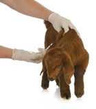 Farm veterinary care. South african goat kid getting vaccinated on white background Royalty Free Stock Photo