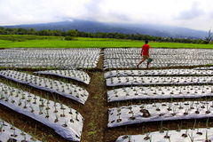 Farm. View with cloudy singgalang mountain background Royalty Free Stock Image