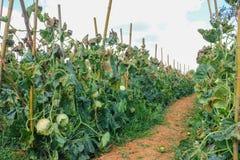 Into the farm. Walk way into cantaloupe farm for harvest Royalty Free Stock Photography