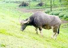 Farm water buffalo eating grass. A farm water buffalo is eating grass in grassland,after rain,in China Stock Photo