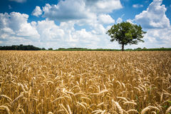 Farm Wheat Field. Wheat field landscape photo with lone tree and fluffy clouds in an Indiana Sky and deep depth of field royalty free stock photo