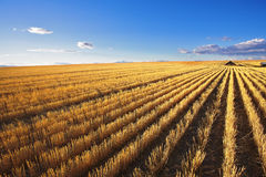 The farm in wheaten fields after harvesting royalty free stock images