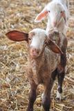 The farm. White sheep. White sheep on the farm Royalty Free Stock Image