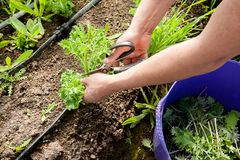 A farm worker harvest kale by hand. A farm worker carefully selects and cuts kale leaves and places the harvest into the nearby purple bin royalty free stock photo