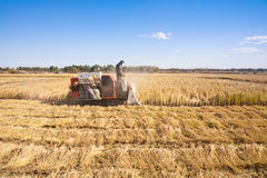 Farm worker cutting rice. Farm workers operating harvester to cut ripe paddy rice Stock Image