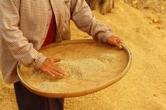 Farm worker is flicks rice in the tray. Stock Photo