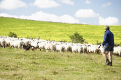 Farm Worker With Flock Of Sheep Stock Photos