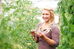 Farm Worker In Greenhouse Checking Tomato Plants Stock Photo