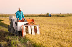 Farm worker harvesting rice Royalty Free Stock Images