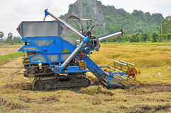 Farm worker harvesting rice Royalty Free Stock Image