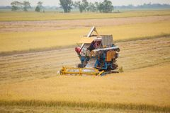 Farm worker harvesting rice with Combine machine Stock Photo