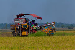 Farm worker harvesting rice Stock Photography