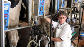 Farm Worker Milking Cows. At organic dairy farm Royalty Free Stock Photo