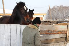 Farm worker passes by the paddock with two horses in the village royalty free stock photo