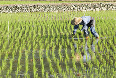 Farm  worker planting on paddy rice field . Stock Images