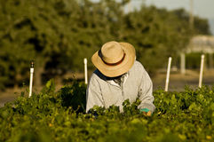 Farm Worker and Vines. Stock Photos