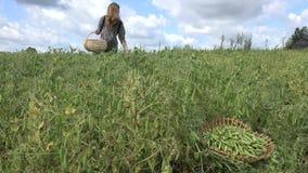 Farm worker woman gather harvest in pea plant field. 4K stock footage
