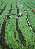 Farm Workers In Green Field royalty free stock photos