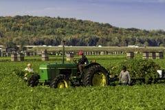 Farm workers harvesting carrots Stock Photo