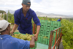 Farm workers harvesting green grapes Stock Photo